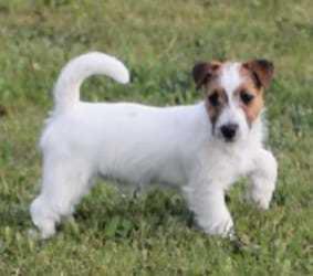 Jack Russell Terrier Welpen, Krostitz (Sachsen) ·